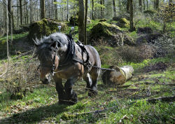 Horse logging contractors practicing sustainable forestry